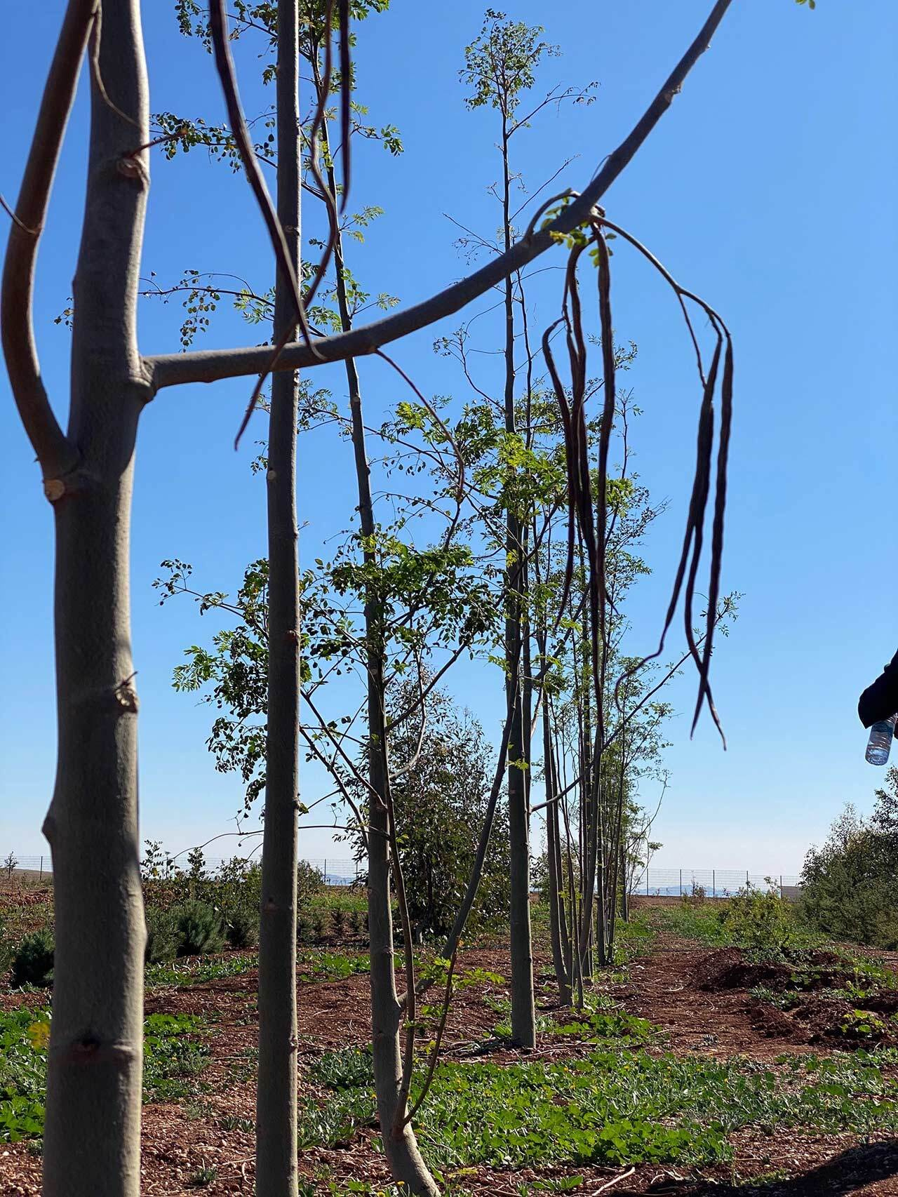 Morigna Oleifera plantation